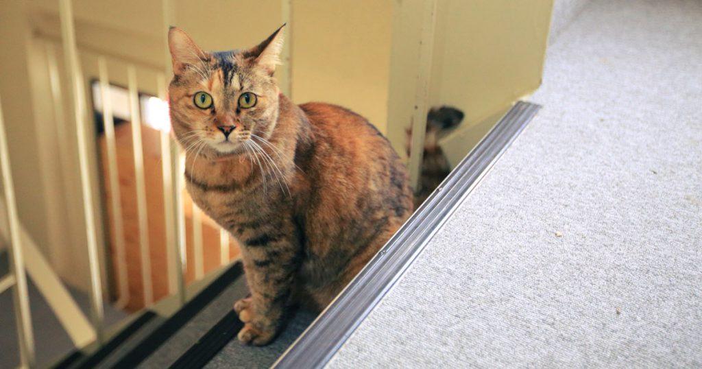 保護猫ストーリー ネコビル(大阪心斎橋店)「まみ」