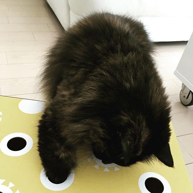 猫もぐらたたきboxに夢中