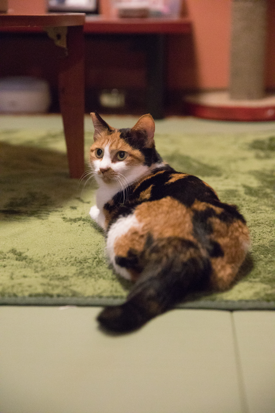 三毛猫の福美です